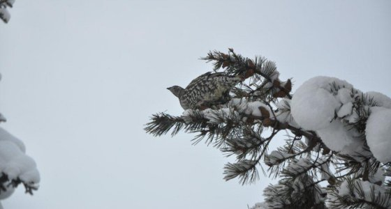 Winter Bird in Tree at Yukon B&B