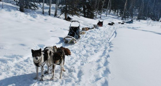 Dog Sled Whitehorse, Yukon 560x300