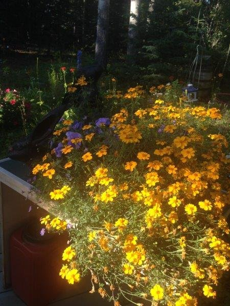 Marvellous Marigolds at Hidden Valley B&B