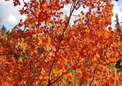 Vibrant orange tree, Whitehorse, Yukon.