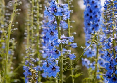 Delphiniums at Hidden-Valley-BB-1600px