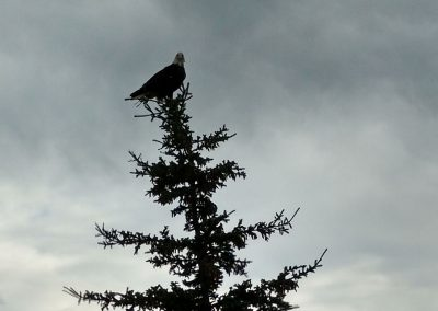 Watchful Eagle, Whitehorse, Yukon