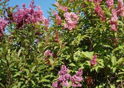 Lilacs, Courtyard, Hidden Valley Bed and Breakfast, Whitehorse