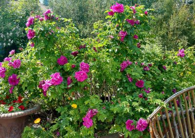 Wild Roses, Courtyard, Hidden Valley Bed and Breakfast, Whitehorse