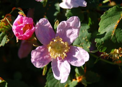 Wild Rose, Hidden Valley Bed and Breakfast, Whitehorse