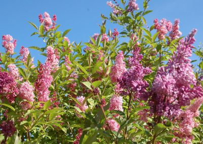 Fragrant Lilacs, Hidden Valley Bed and Breakfast, Whitehorse