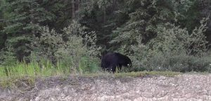 Black Bear Eating Berries, Yukon