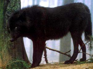 Black Wolf, Yukon