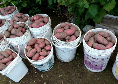 Red Potatoes, Hidden Valley Bed and Breakfast Garden, Whitehorse, Yukon