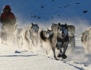 Yukon Dog Sled Race, Yukon Quest, 2017, Whitehorse, Yukon