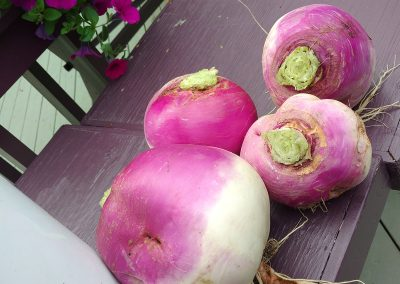Big, beautiful Turnips from the garden at Hidden Valley Bed and Breakfast. Whitehorse Accommodation. Yukon.