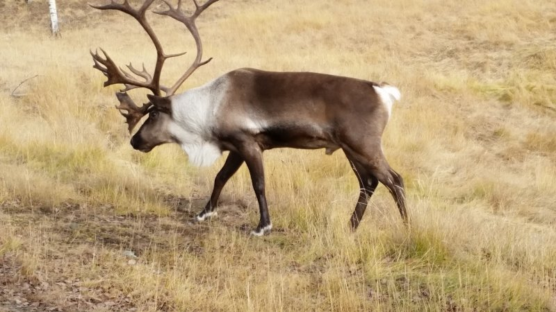 Caribou at Wildlife Preserve in Whitehorse, Yukon